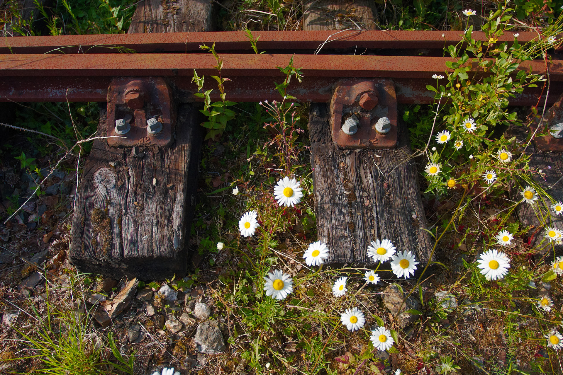 Railway Sleepers and Rusty Rails among the Daisies
