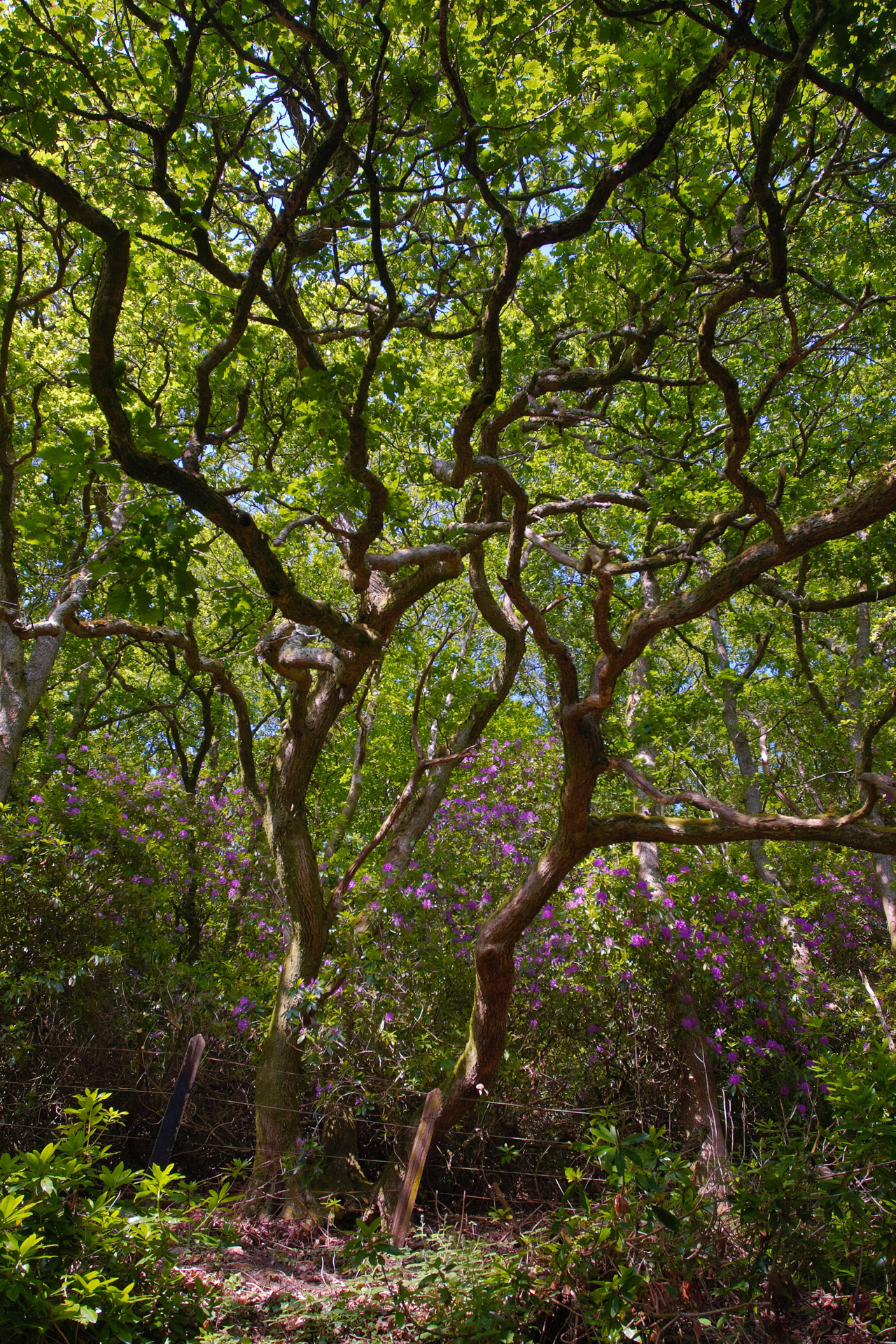 Oak woodland and Rhododendrons along the Camel Trail
