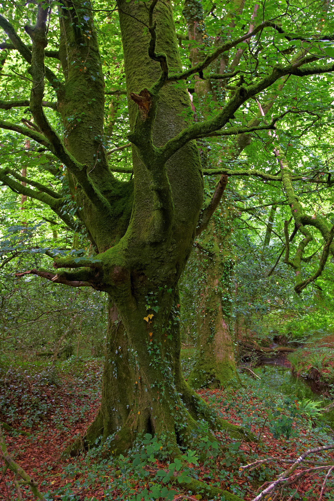 Ancient And Mossy Tree