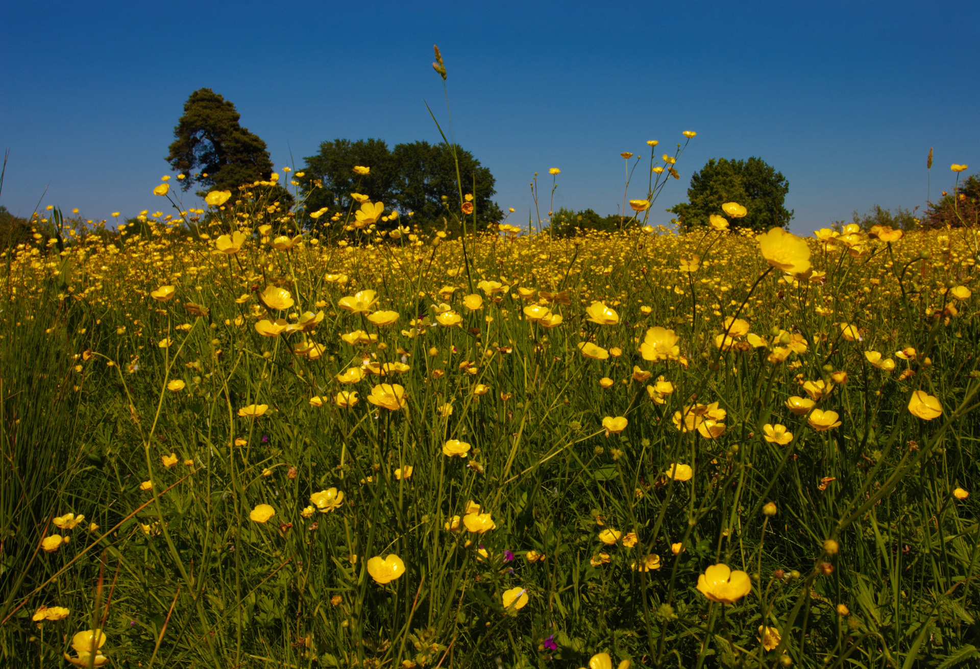 Buttercup Meadow Macro
