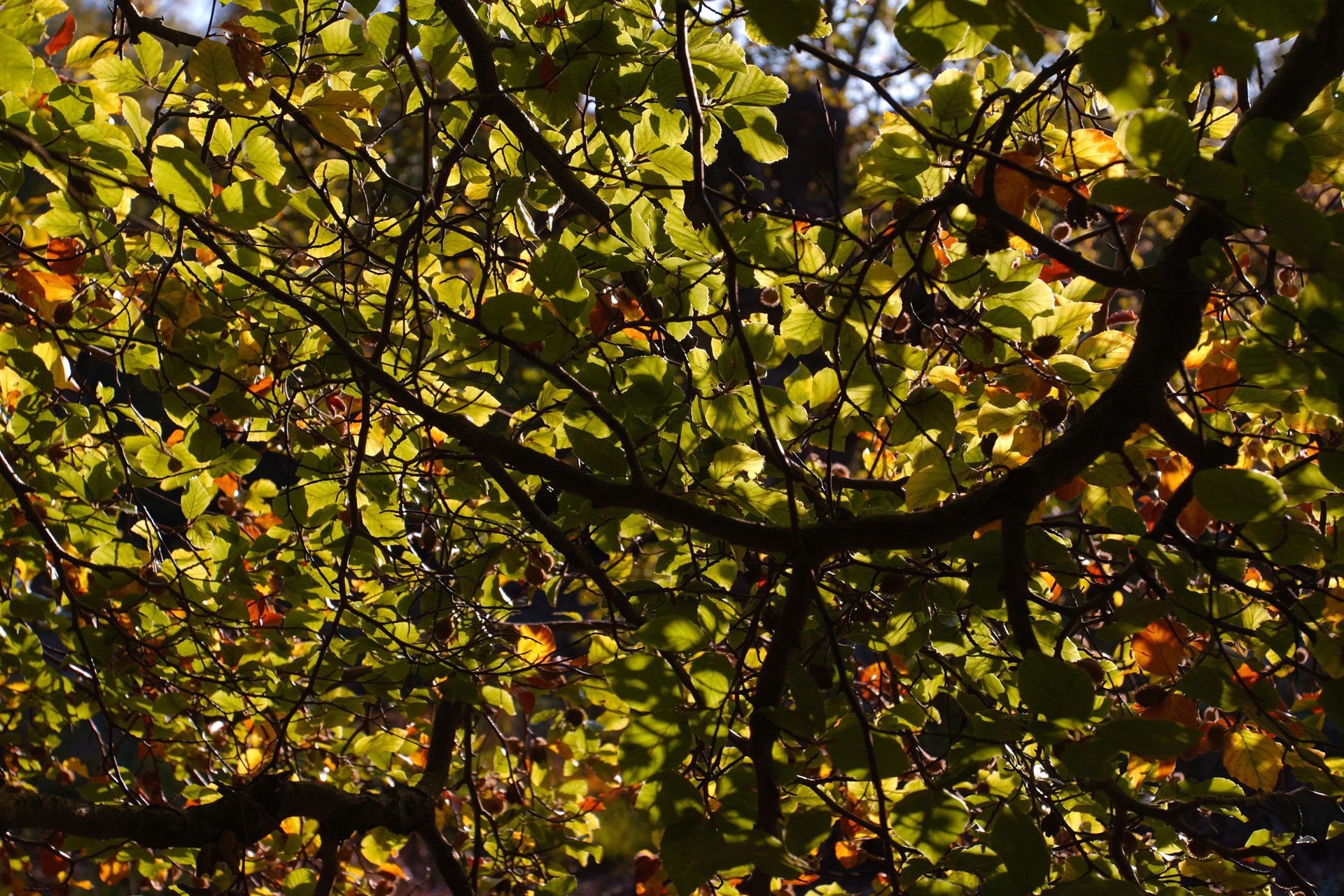 Beech Leaves Backlit By Autumn Sunshine