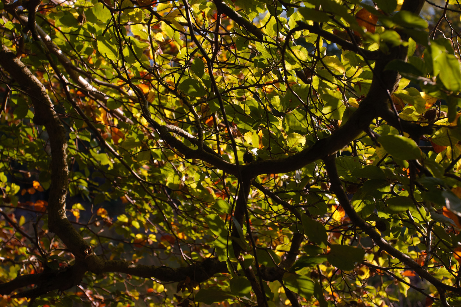 Beech Leaves Dappled In Autumn Sunshine