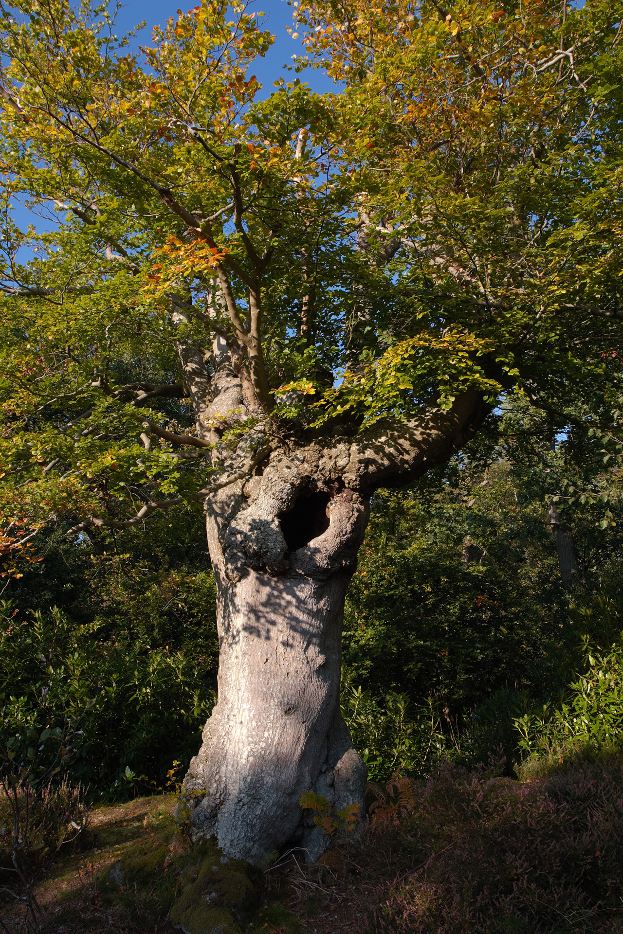 Pollarded Beech Tree at Burnham Beeches