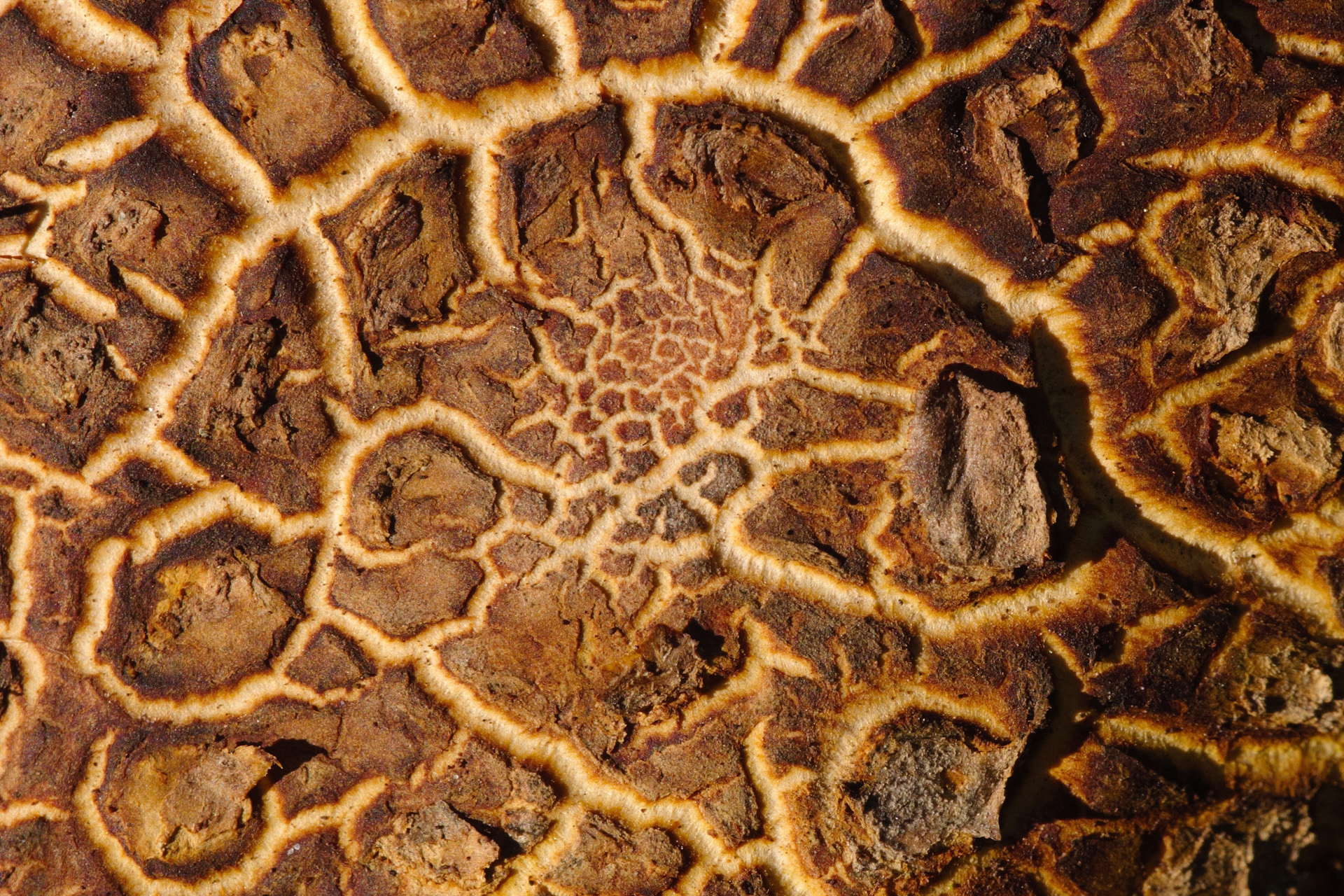 Common Earthball Fungus Network Texture