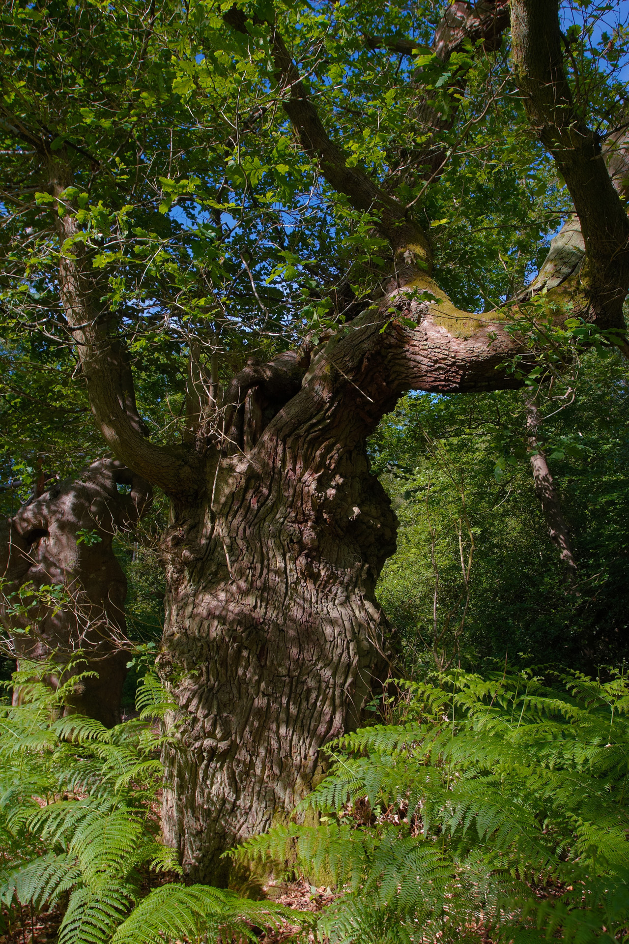 Old Oak tree at Burnham Beeches ancient woodland