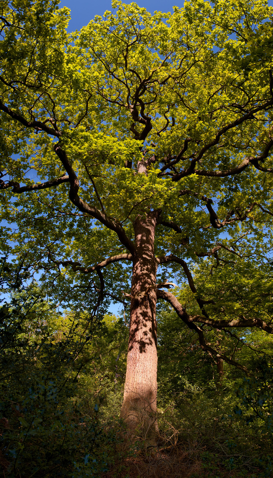 Tall Oak, Burnham Beeches ancient woodland