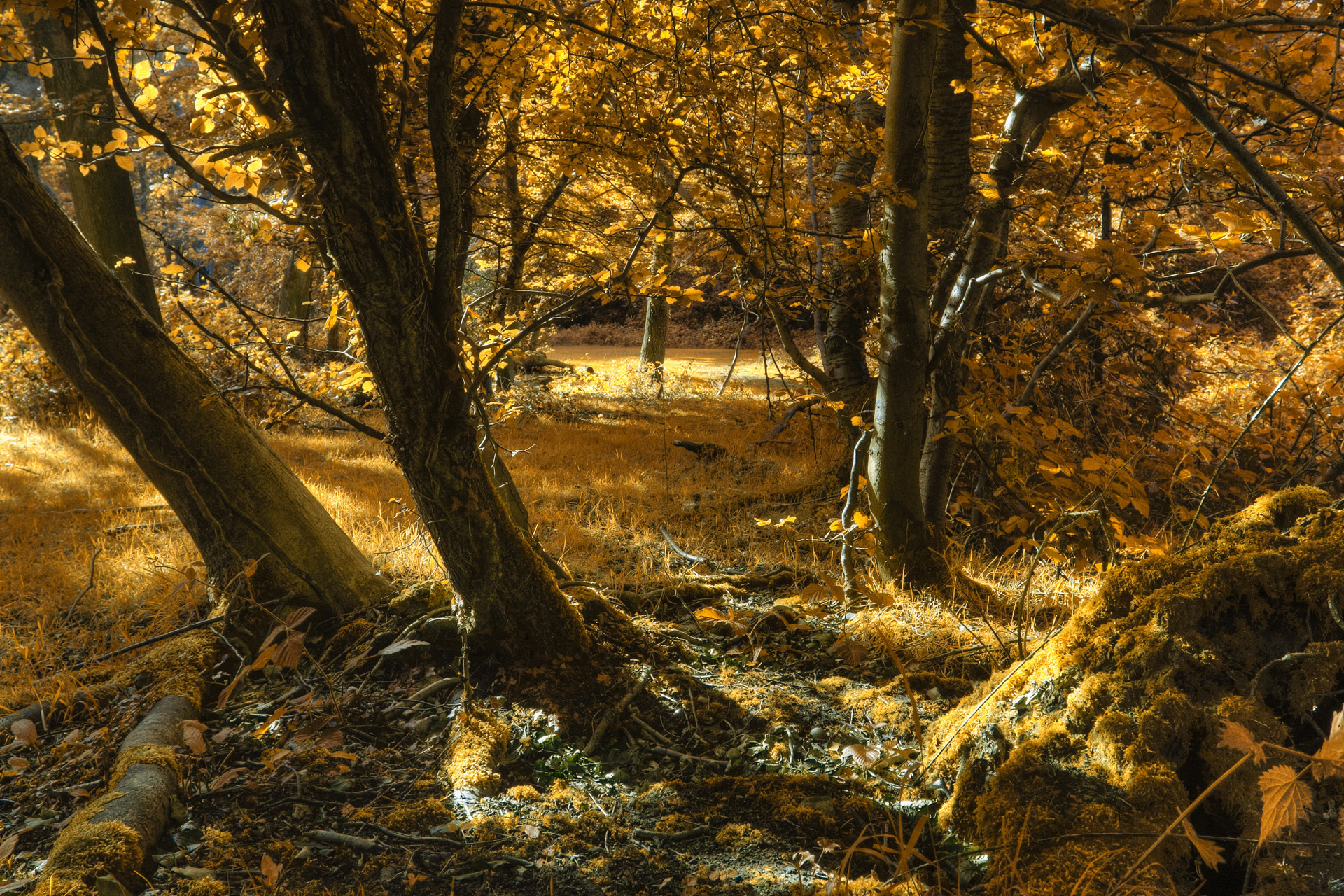 Golden Evening, Burnham Beeches, Buckinghamshire