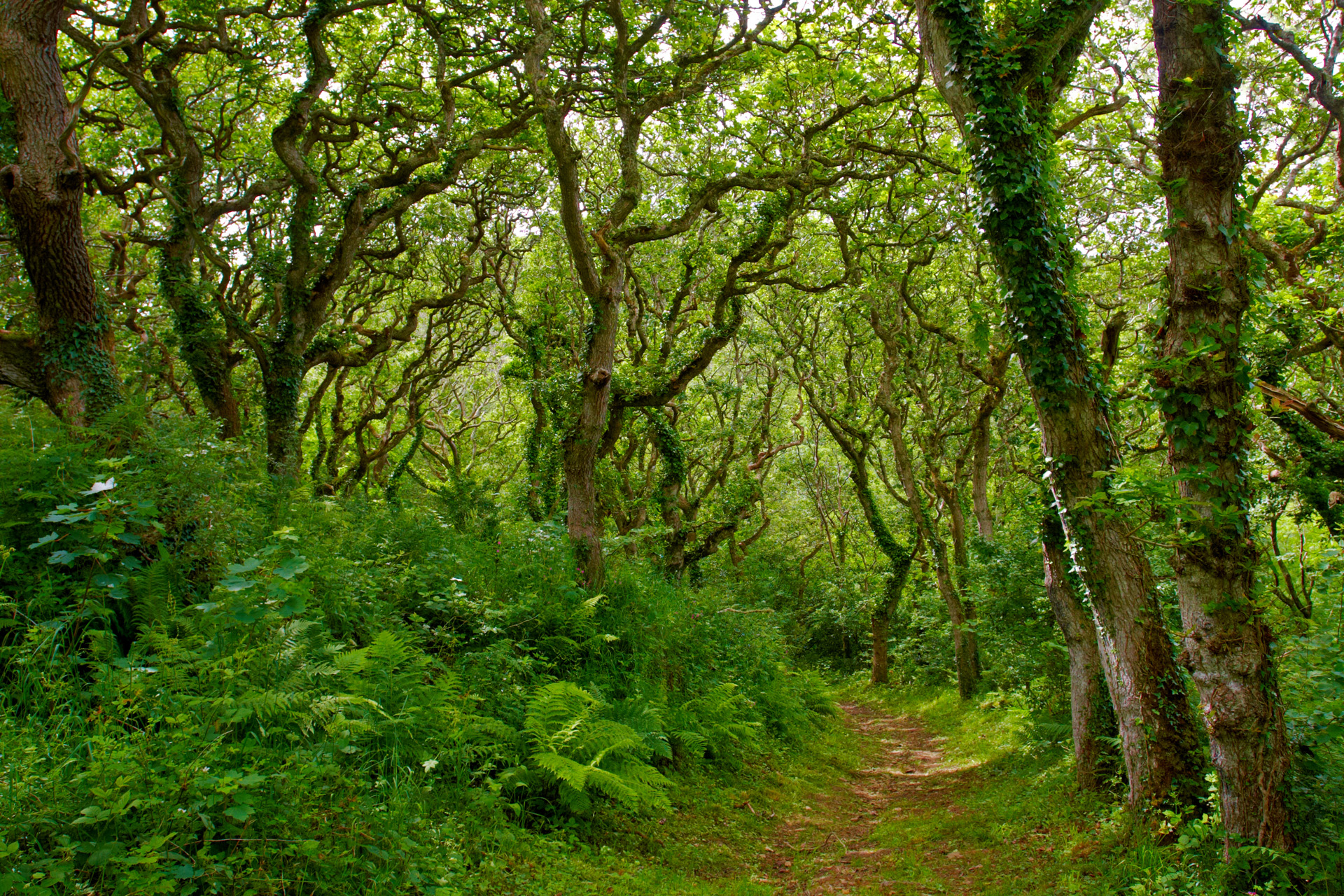Path through the Oaks in Milllook Woods, Cornwall