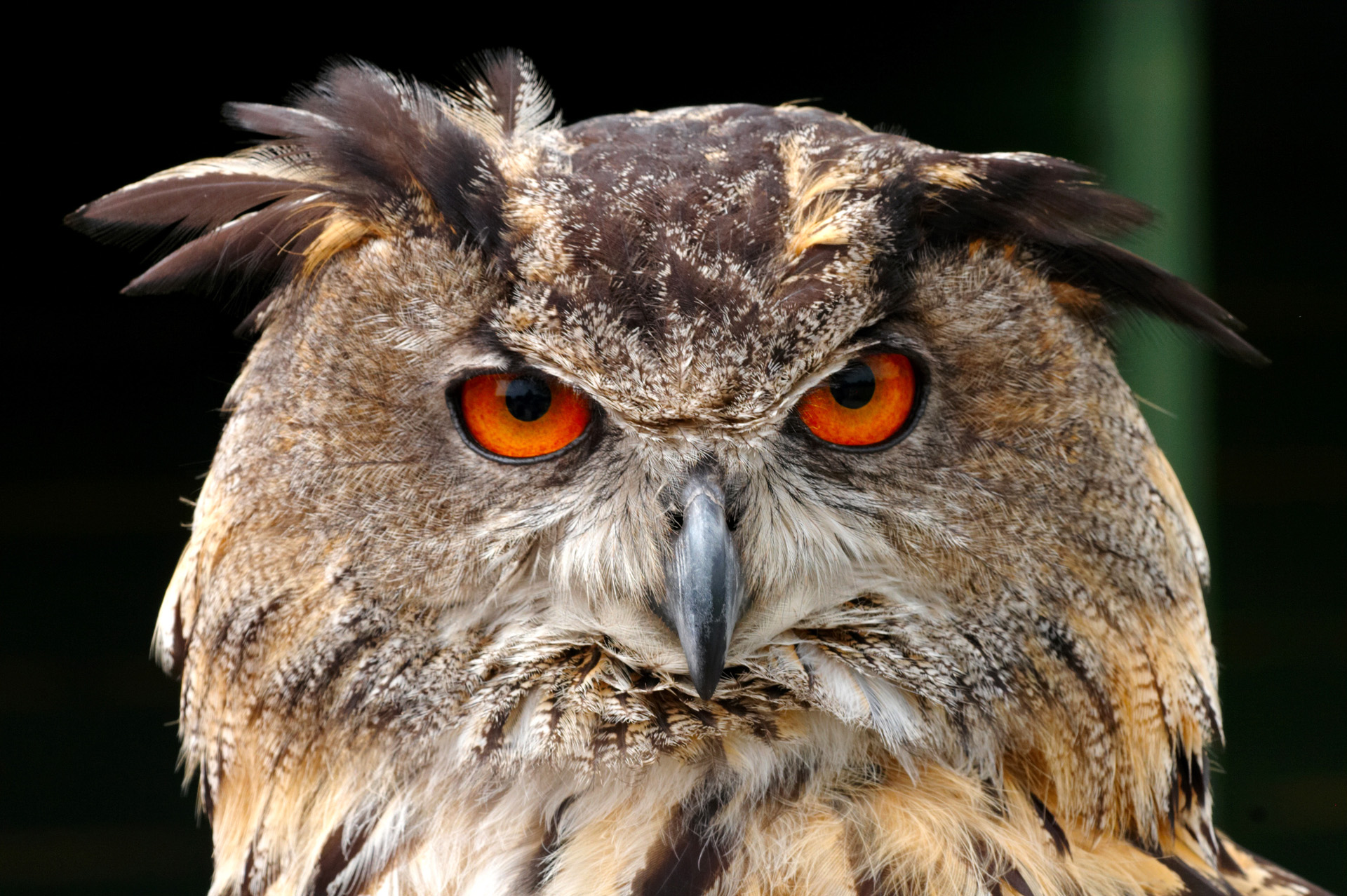 European Eagle Owl Face Closeup