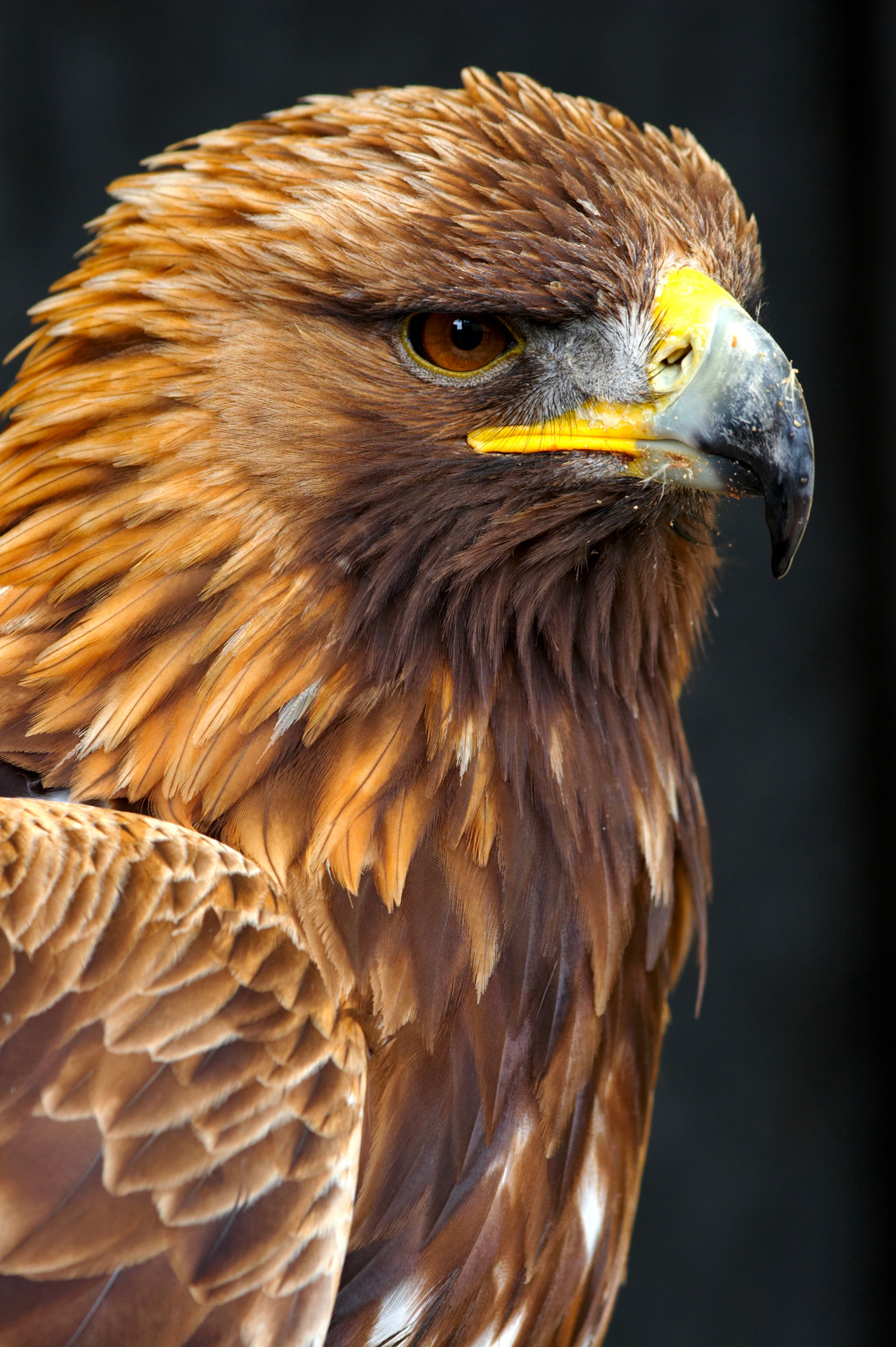 Male Golden Eagle