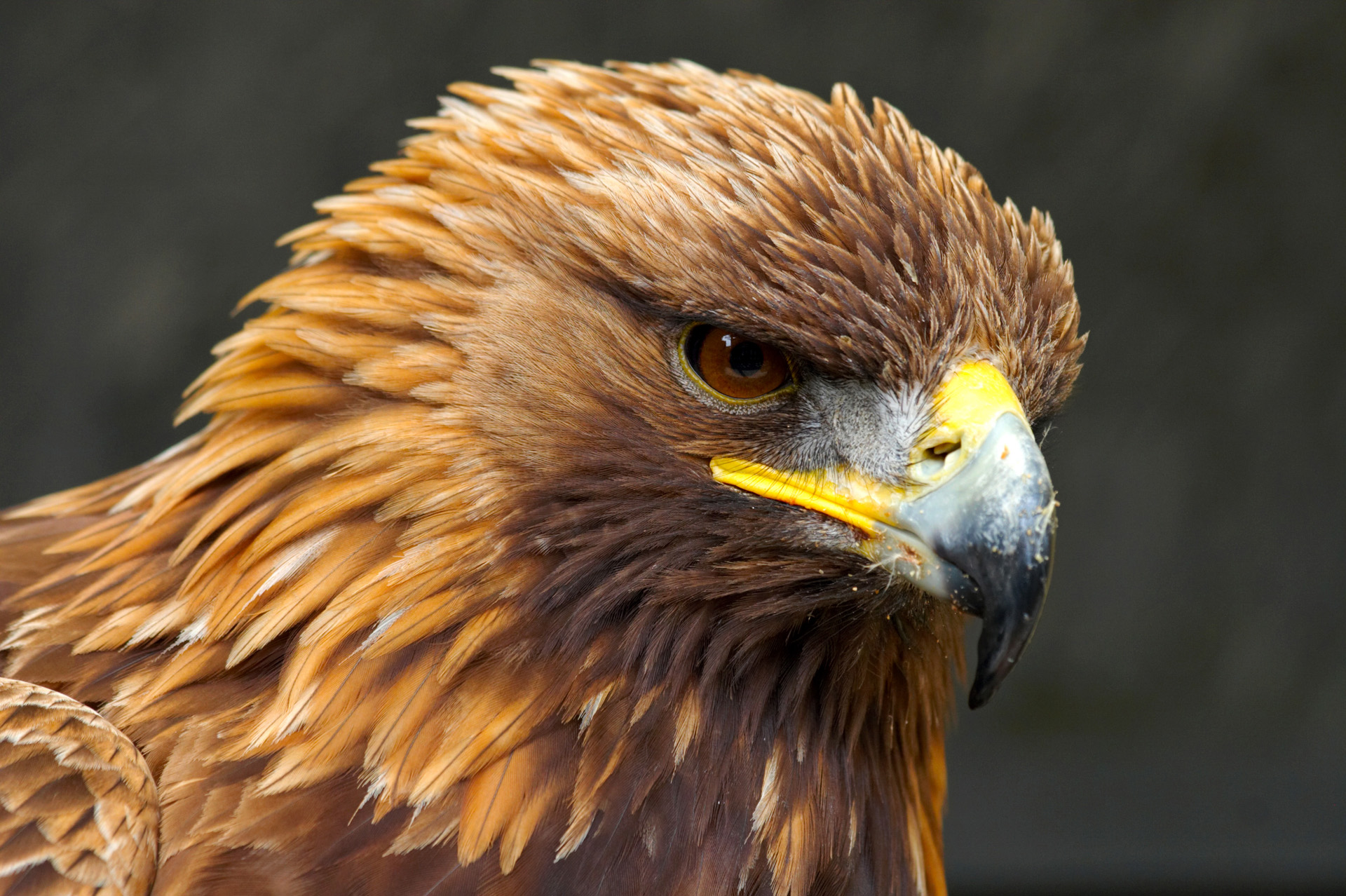 golden eagle Bald and golden eagles enjoy protection in the united states under the bald and golden eagle protection act learn about the related permit system.