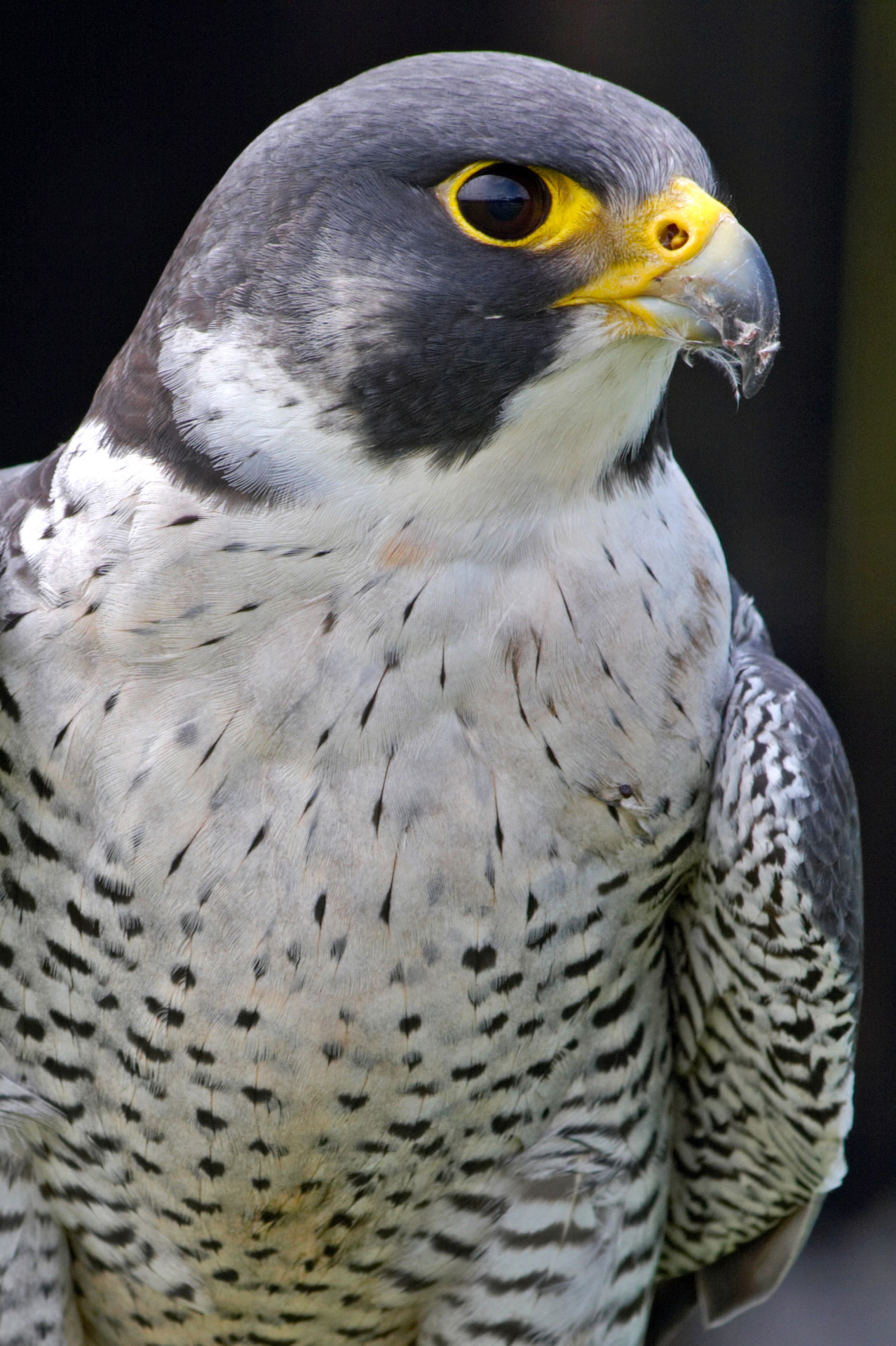 A saker falcon with very strong lenses | I pray Im not