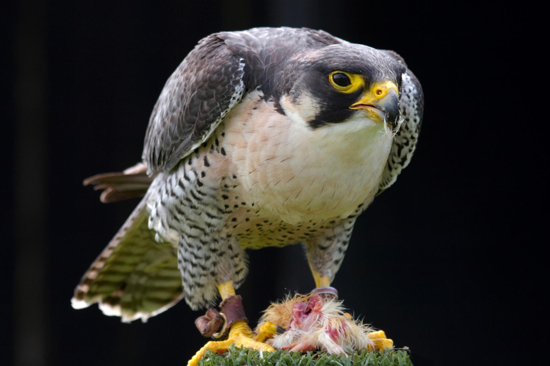 Peregrine Falcon | Urban Raptor Conservancy