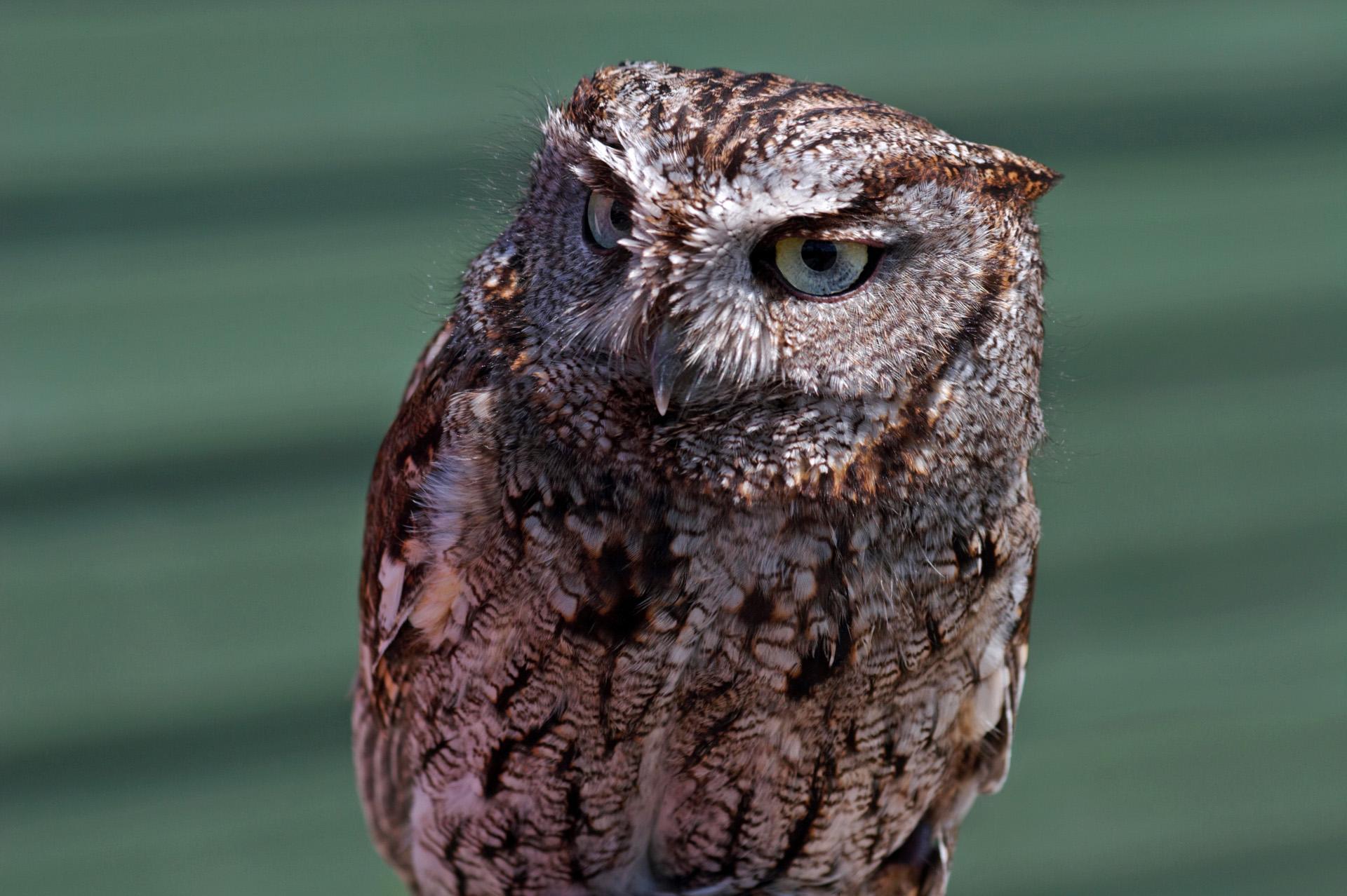 western-screech-owl-2.jpg (1920×1278) | Western Screech ...