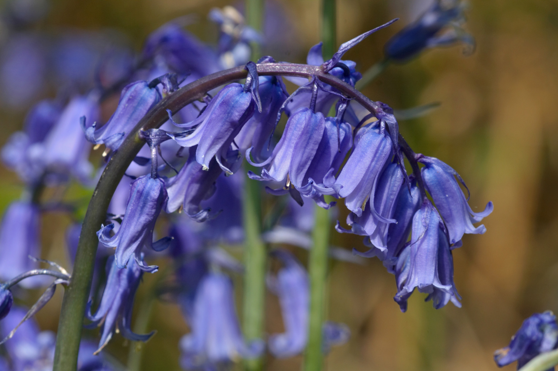 Bluebell Flowers | Flowers | Wildlife | Photography By ...