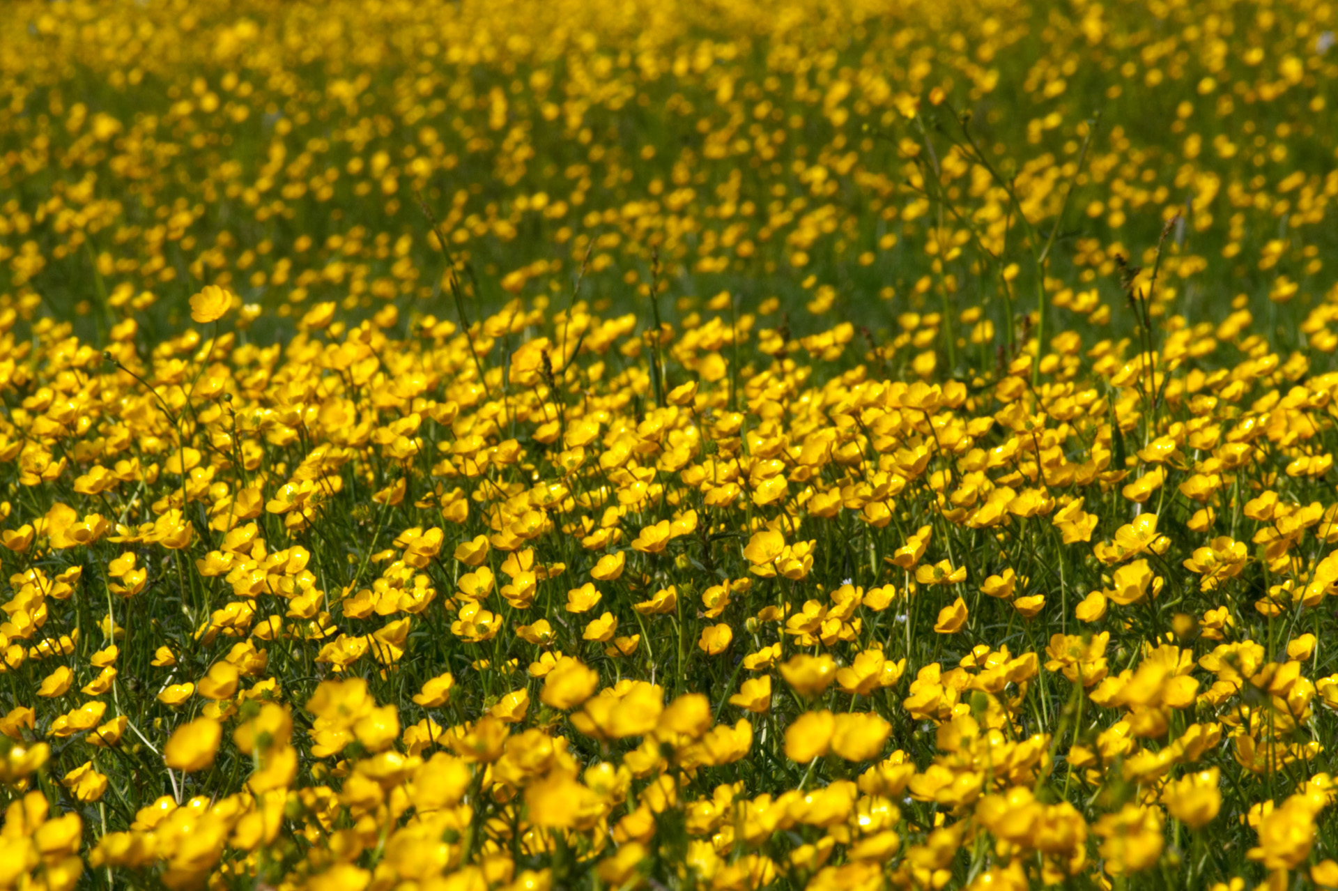 Buttercup Meadow at Wittenham Clumps