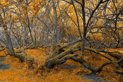 Golden Twisted Trees