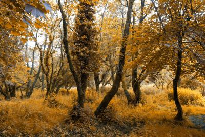 Golden Camel Trail Trees