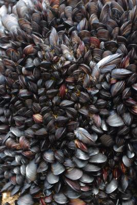 Mussels densely packed on the rocks at Bedruthan Steps