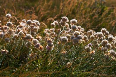 Thrift in the late afternoon sunlight atop the cliffs at Bedruth