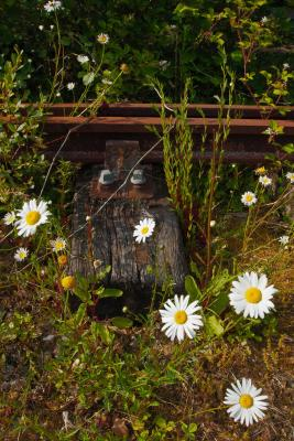 Railway sleeper and rusty rail among the Daisies