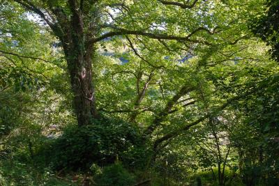 Tall Trees beside the Camel Trail, Cornwall