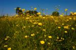 Buttercup Meadow Closeup
