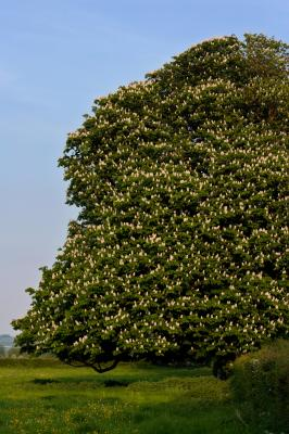 Horse Chestnut Tree In Full Blossom
