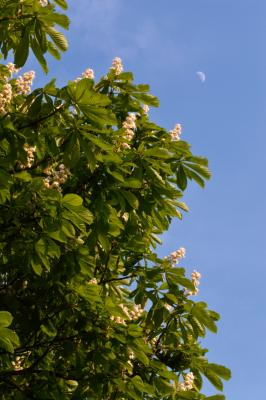 Blossoming Horse Chestnut Tree With The Moon Behind