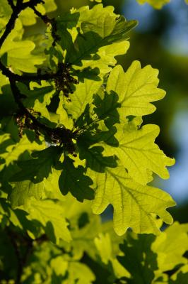 Pristine new oak leaves in the spring sunshine