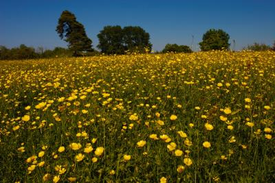 Buttercup Meadow at Little Wittenham