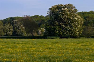 Horse Chestnut Tree in a Buttercup Meadow In Spring