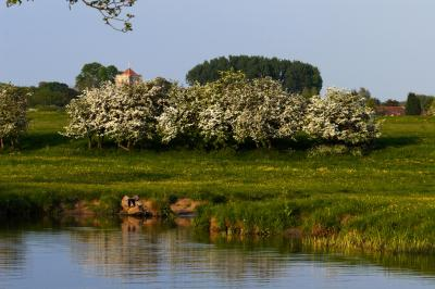 Hawthorn Trees on the River Thames at Little Wittenham