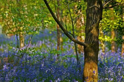 Bluebells Monet