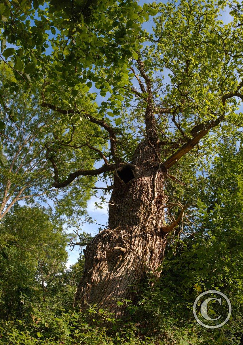 Gnarled Old Oak Tree At Burnham Beeches Ancient Woodland