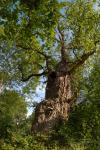 Gnarled old Oak tree at Burnham Beeches ancient woodland
