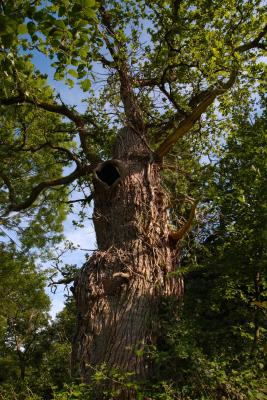 Old Man Burnham, gnarled old Oak tree at Burnham Beeches ancient