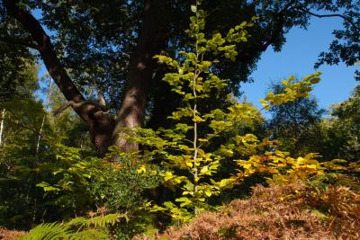 Beech Sapling and Mature Oak in Autumn