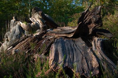 Weathered Wood at Burnham Beeches