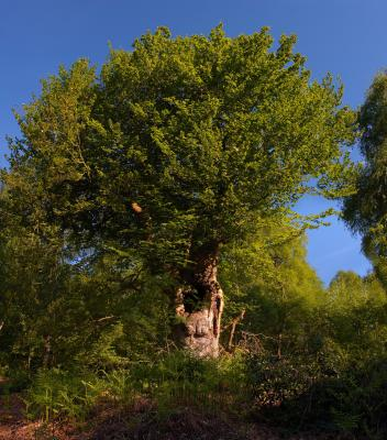 Mendelssohn's Oak, Burnham Beeches ancient woodland