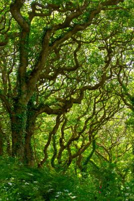Grove of Oaks in Milllook Woods, Cornwall