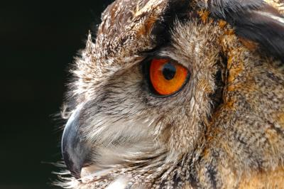European Eagle Owl Side Profile