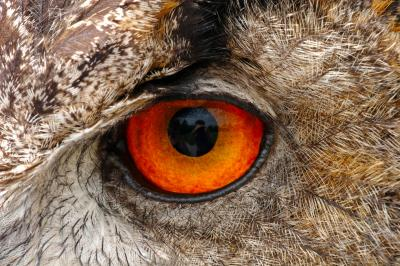 European Eagle Owl Eye Macro