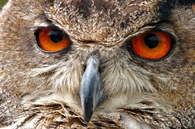 European Eagle Owl Face Macro
