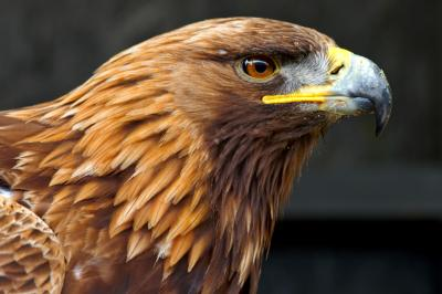 Golden Eagle Side Portrait