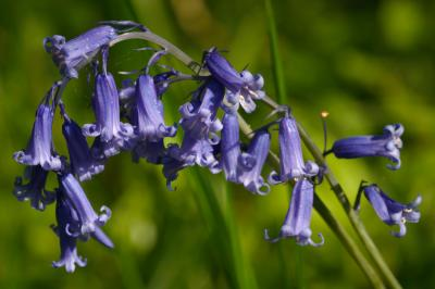 Bluebell Arches