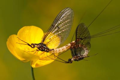 Mayflies Mating