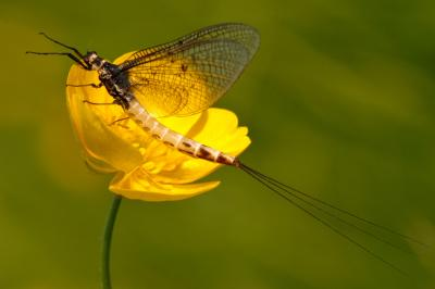 Female Mayfly