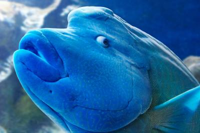 Humphead Wrasse