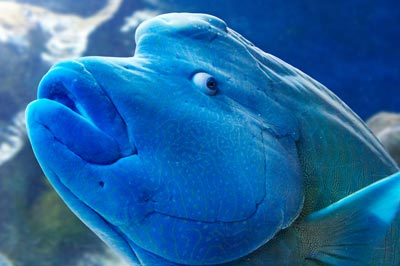 Humphead Wrasse Stock